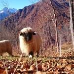 Le pecore dal muso nero al chersogno
